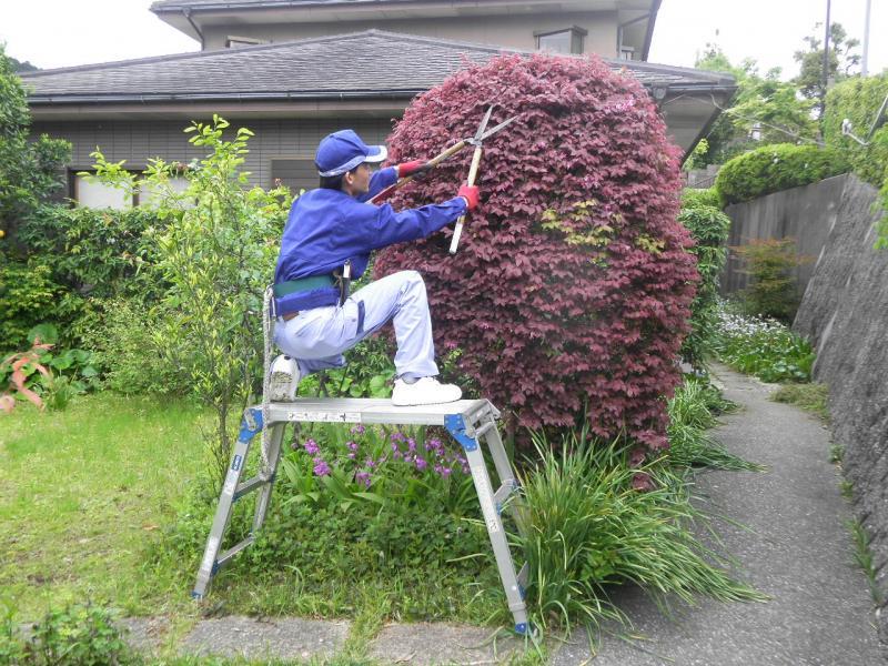 伸びすぎた枝葉の剪定、高さの調節を行います。   【 夏 (6・7・8月)にお手入れするべき木 】    アジサイ・クチナシ・タイサンボク・シモツケ・ウツギ etc…   春に咲いた花木全般      (開花後のお手入れ)