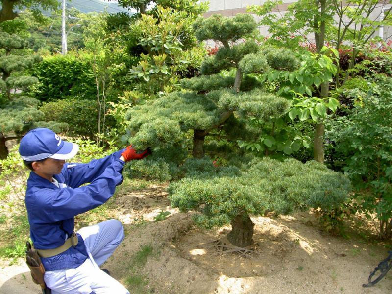 松 の剪定 高さ 2m以下  (1本)