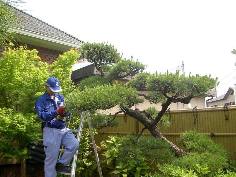 伸びすぎた松の枝葉の剪定、高さの調節を行います。