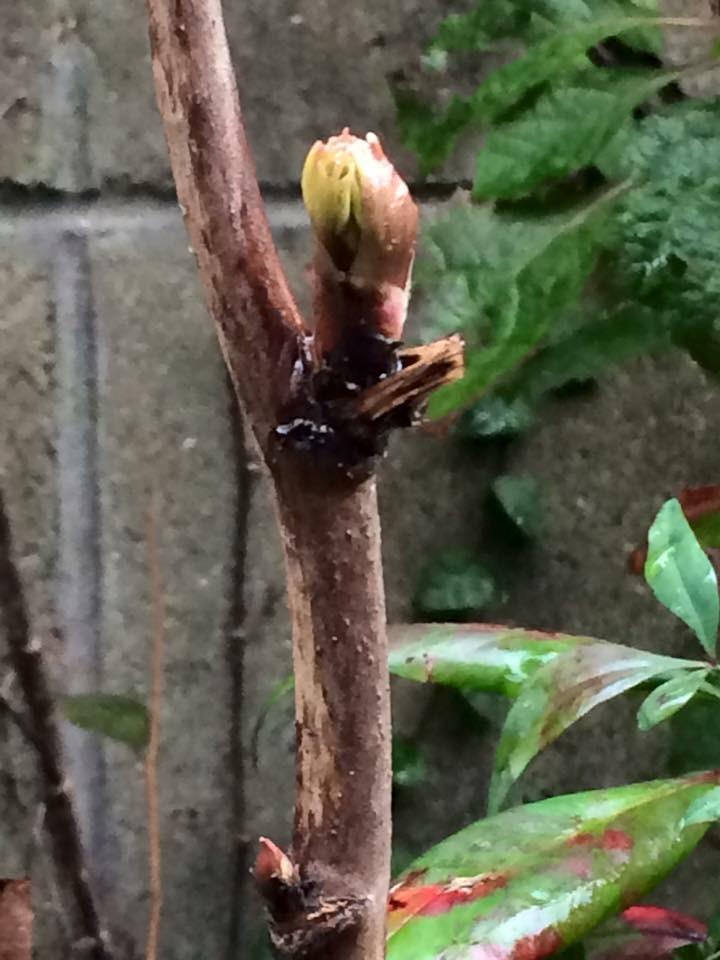 3月のお庭の手入れ…『施肥 〜 芽出し肥え』の写真1