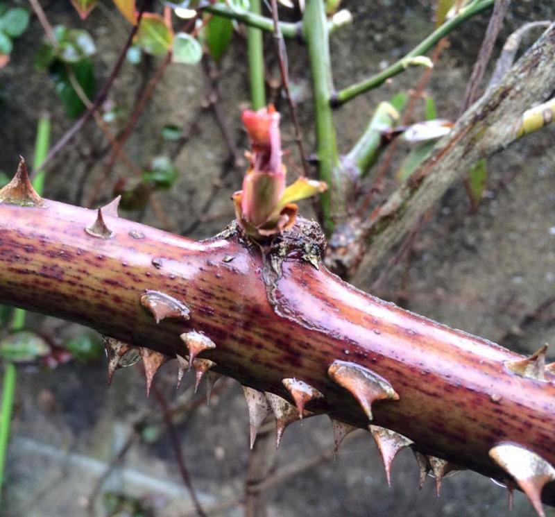 3月のお庭の手入れ…『施肥 〜 芽出し肥え』の写真2