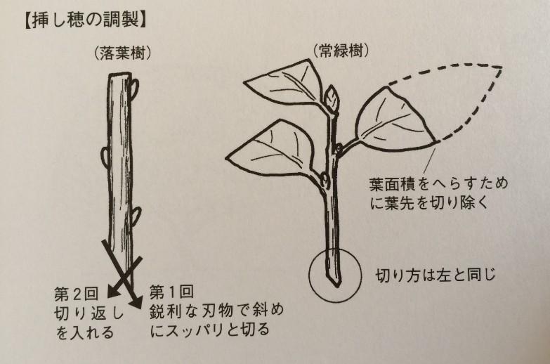 4月のお庭のお手入れ… 『挿し木』の写真2