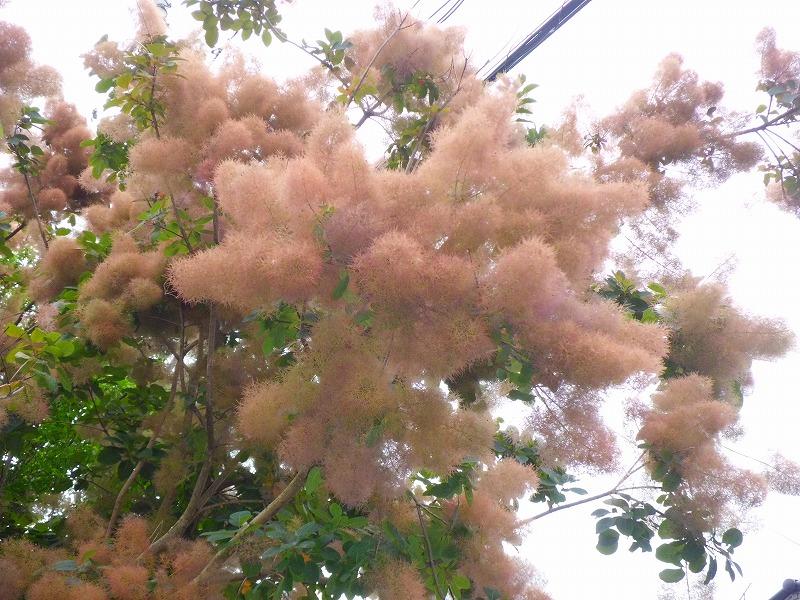 不思議な花木の代表格!迫力の『スモークツリー』!!