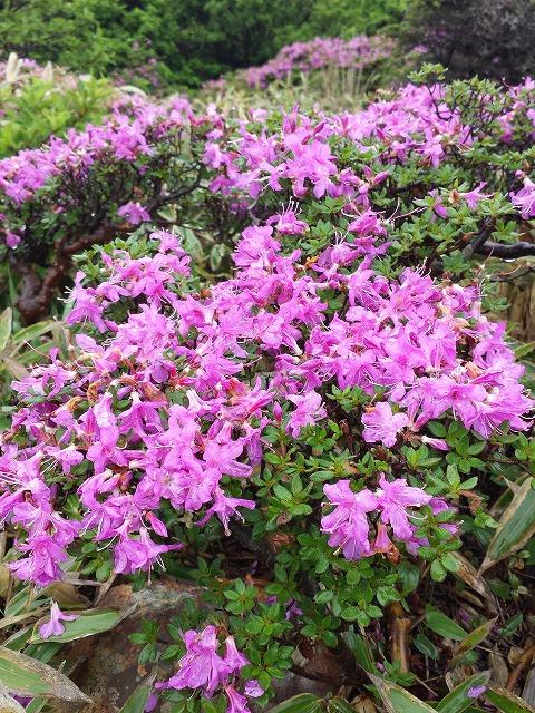 九州の高山を代表する花「ミヤマキリシマ」