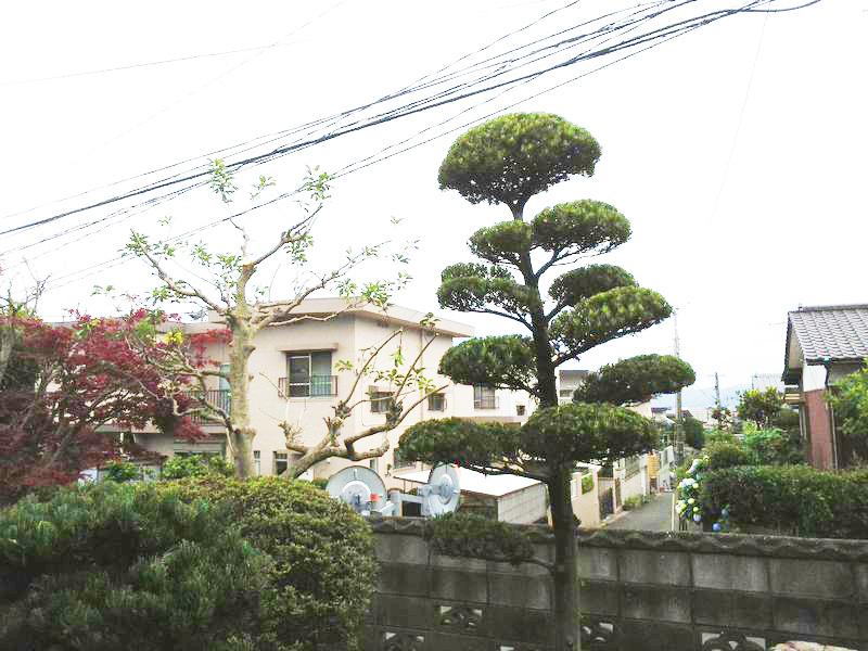 マキノキ剪定(3〜5m)