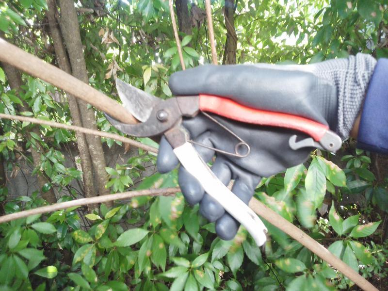 剪定バサミは青森りんごとともに…(造園工具紹介?)の写真1
