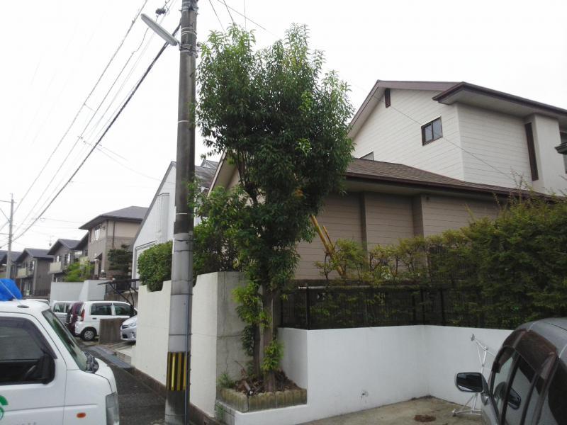 シラカシ剪定(高さ3〜5m)